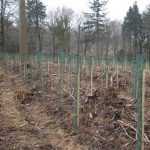 750,000 larch trees replace felled disease woodland