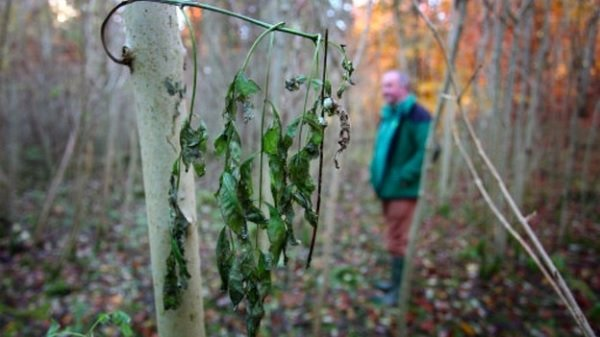 86,000 Young Trees Culled In Ash Dieback Control