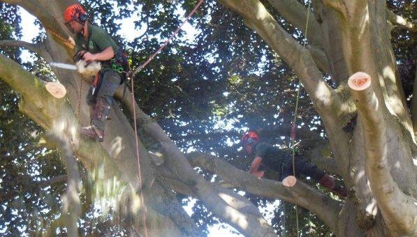 VIDEO: Work starts on felling iconic beech tree in Cheltenham's Montpellier Gardens