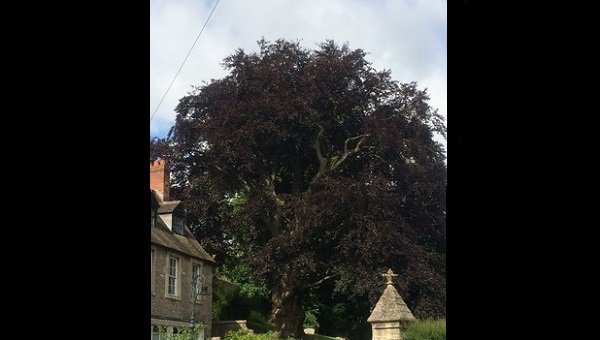 Could another of Frome's great trees be lost?