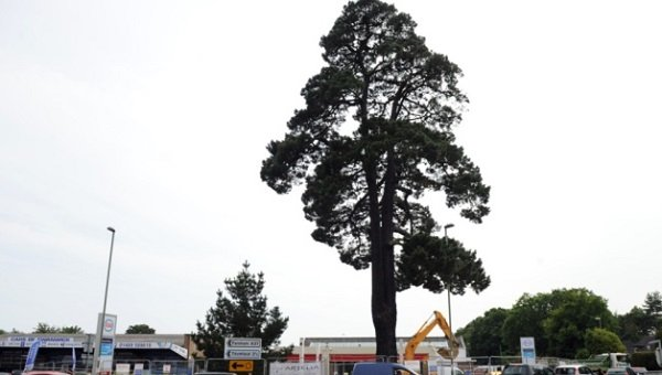 Dangerous pine tree faces axe due to disease