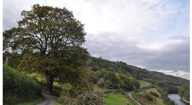 Bid to save ancient Powys oak from the axe