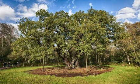 Major oak in Sherwood Forest voted England's tree of the year