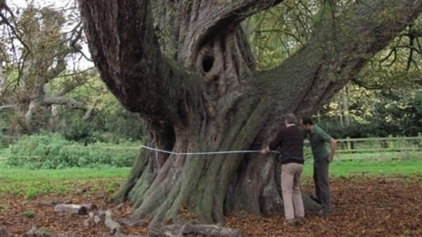 300-year-old horse chestnut tree declared largest in country