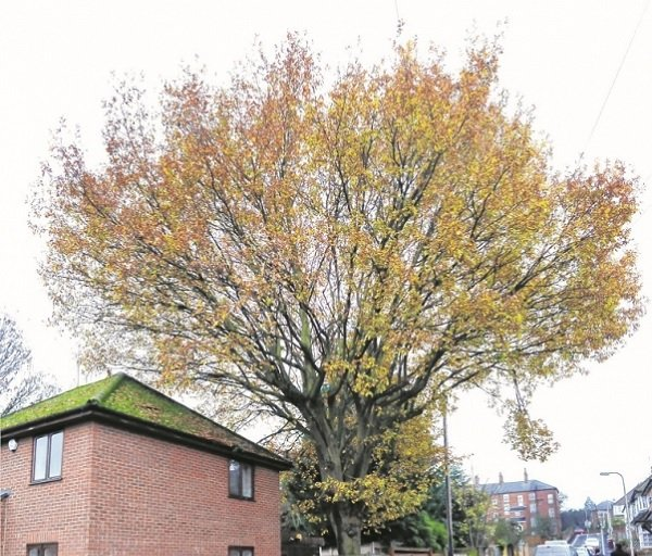 Fight to save Clifton Street oak tree wins backing of Reading Borough Council