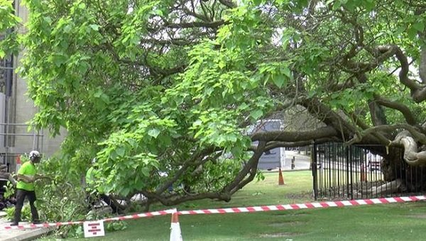 VIDEO: Iconic Catalpa Tree outside Rochester Cathedral has split in two