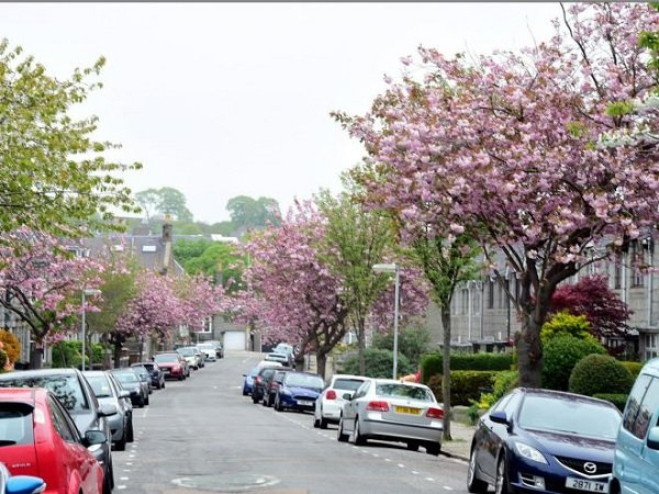 Community divided over fate of blossom trees on Aberdeen street