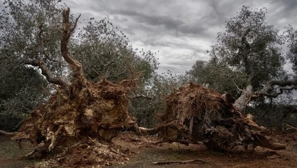 Europe orders Italians to cut down olive trees infected with bacteria