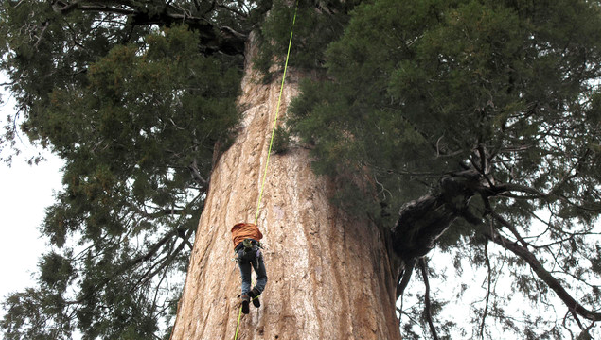 Enormous ancient trees combat climate change