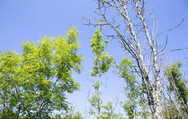Councillor warns of deadly tree disease