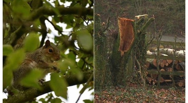 Squirrels cost the British forestry sector £6m a year