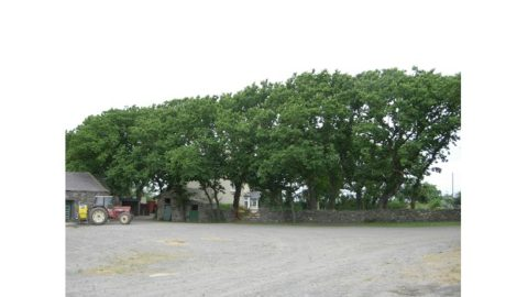 Dutch elm