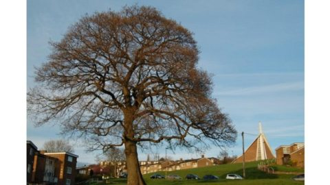 Great Trees of Sheffield