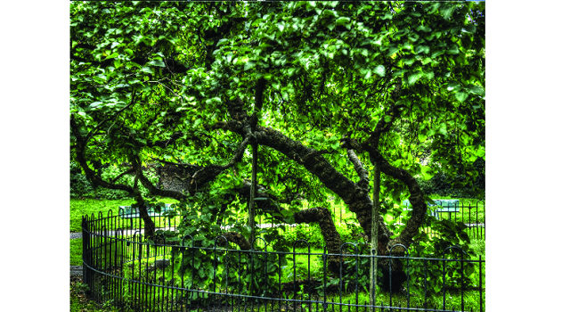 Historic mulberry tree has been nominated for the Woodland Trust's Tree of the Year award