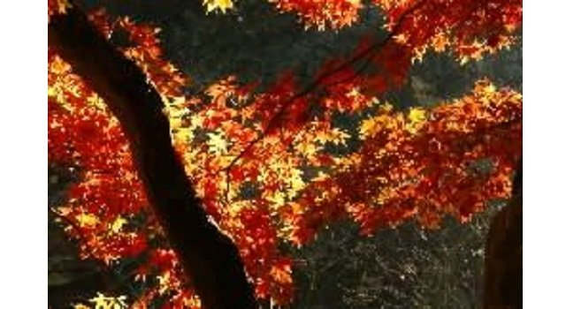 Experts at the Forestry Commission are predicting longer autumn colour