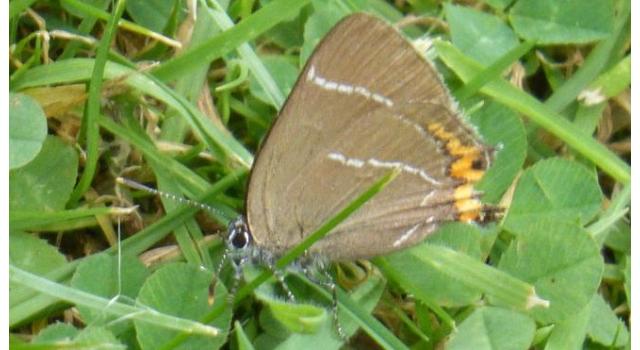 Rare butterfly halts felling of elm tree in Sheffield