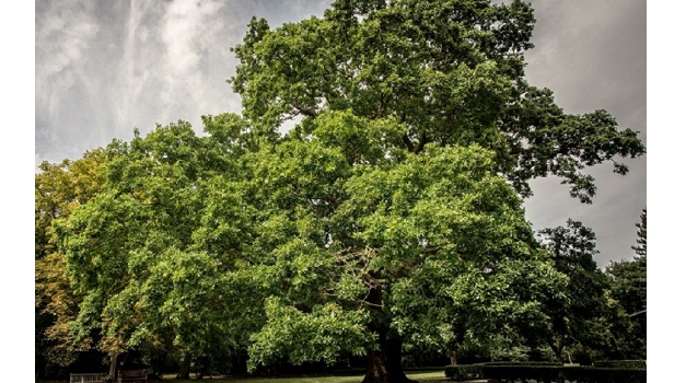 Woodland Trust calls for greater protection for our ancients as Gilwell Oak comes fifth in European Tree of the Year
