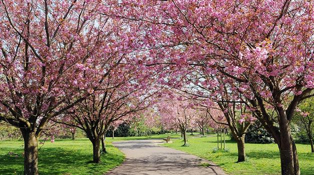 London to receive 1,000 cherry blossom trees from Japan
