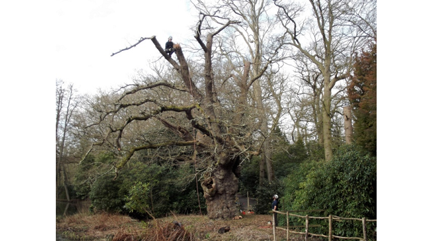 """South Walsham's Fairhaven garden attraction gives """"king of the oak trees"""" some maintenance"""