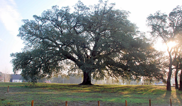 200-year-old Whistler Cork Oak from Portugal  crowned 'European Tree of the Year 2018'