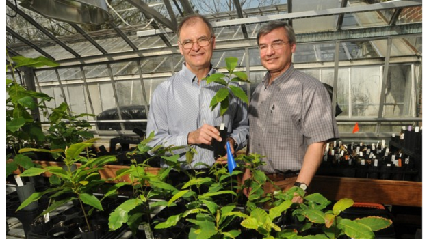 10,000 blight-resistant American chestnut trees grown by U.S researchers
