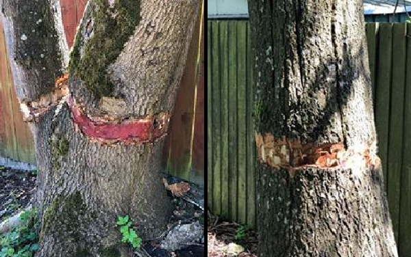 Investigation after oak trees damaged in Richmond