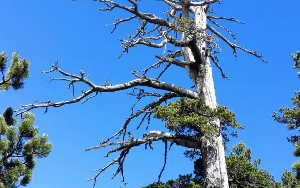 Oldest Euronpean tree found to be having growth spurt