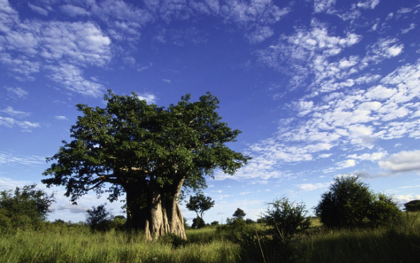 The oldest trees in Africa are dying, and scientists are stumped