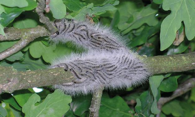 Oak Processionary Moth Alert