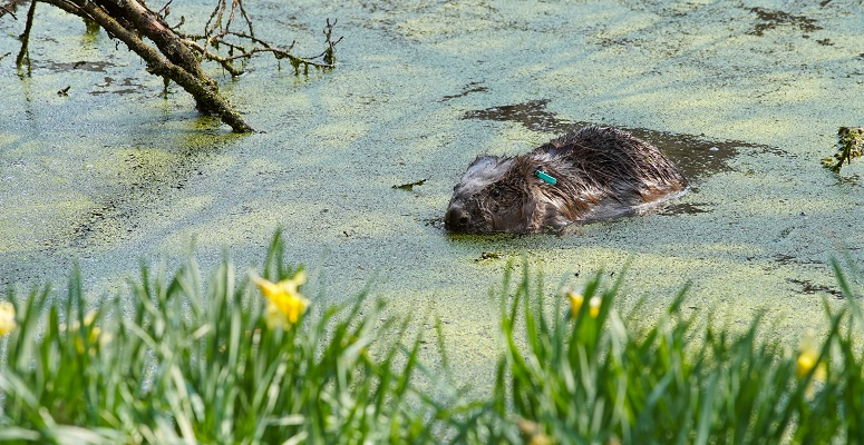 Beavers flood management
