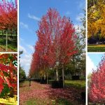 5 trees for outstanding autumn colour