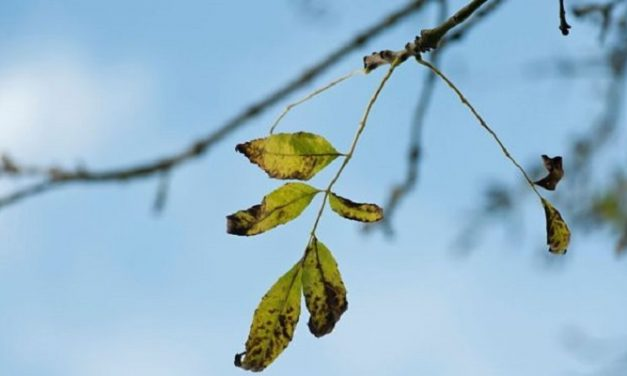 New hope for trees affected by ash dieback