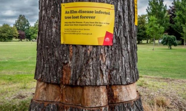 'Forgotten' elm tree set to make a comeback