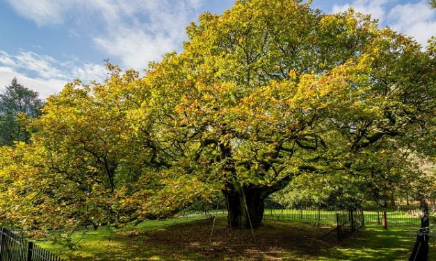 Liverpool tree in the running to be Europe's TREE OF THE yEar