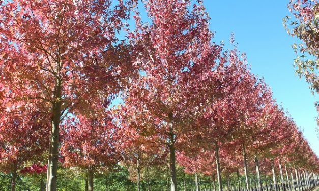 Hillier Nurseries Invests £1.5m into UK Tree Production