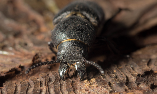 Forestry Commission acts on bark beetle tree pest