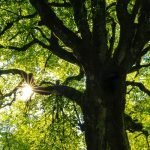 New Tree Health pilot to protect trees from pests and diseases